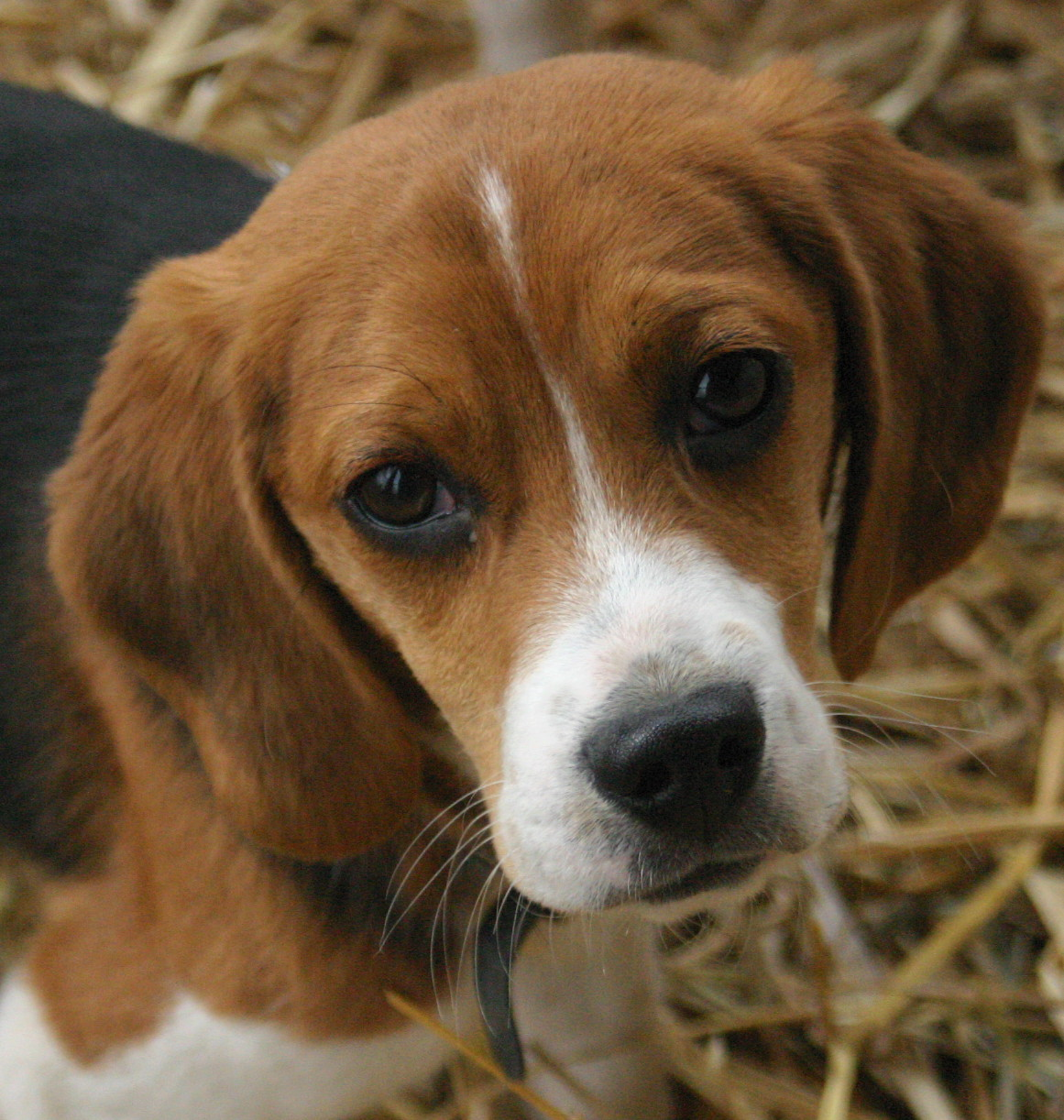 Rééduquer soi-même avec un beagle